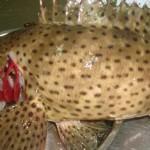 Tôm hùm, cá song – 2 món độc đáo ở đảo Cát Bà