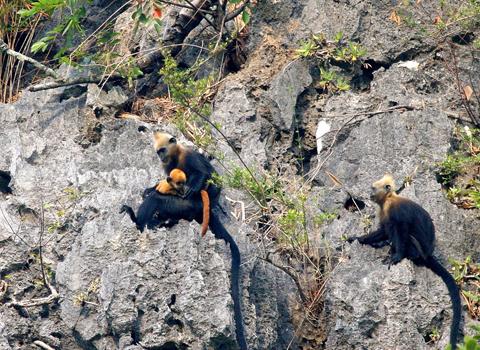 Voọc Cát Bà- động vật quý hiếm và được bảo tồn